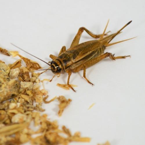 Trooppinen ekologia ja syötävät hyönteiset profiilikuva nro 2