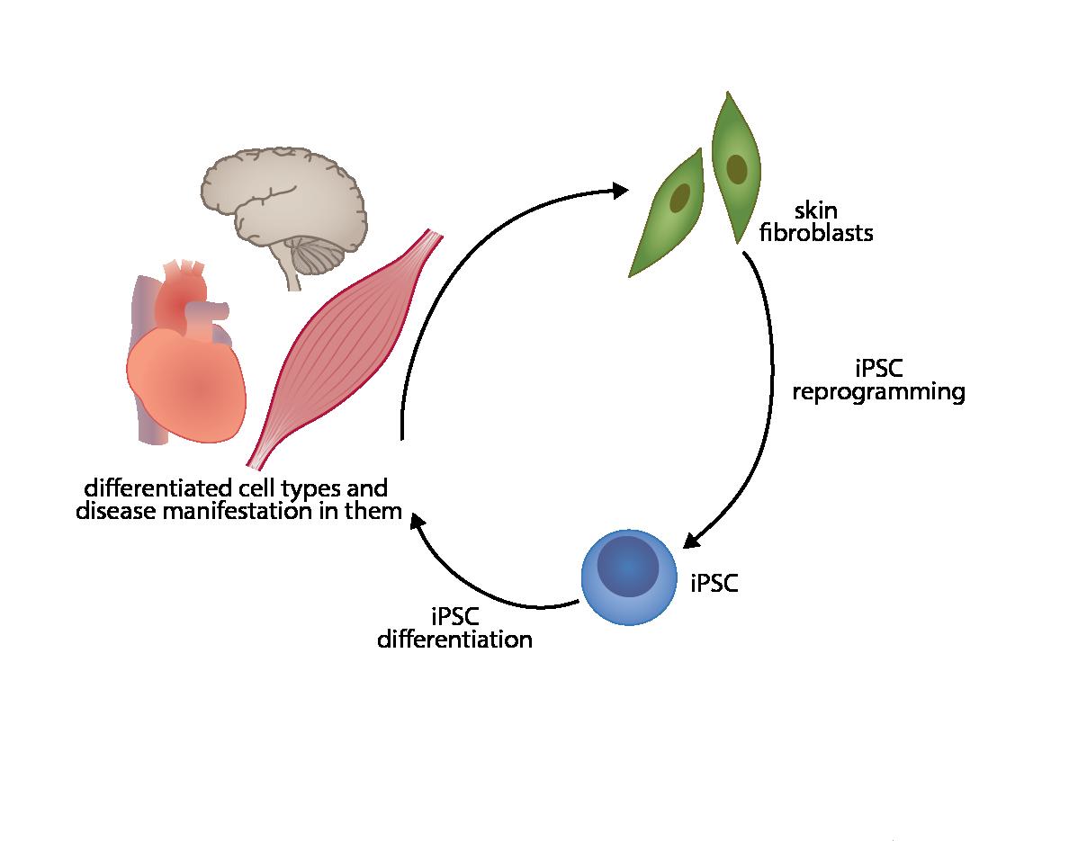 Siirry tutkimusryhmään AIVI kantasolukeskus